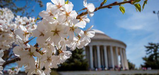 cherry blossom locations