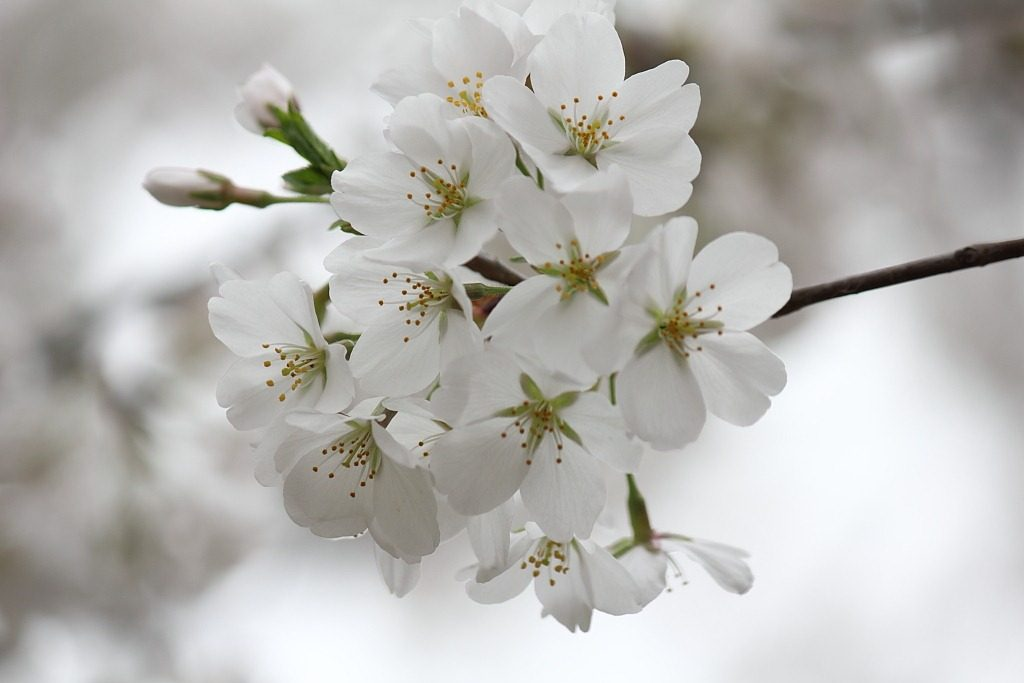 Types of cherry tree varietals in and around washington dc cherry tree mightylinksfo